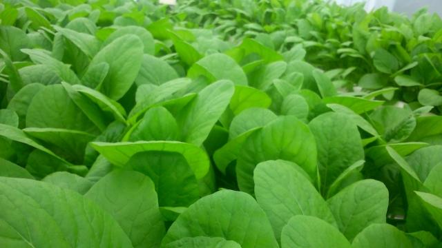 ハウス栽培の小松菜