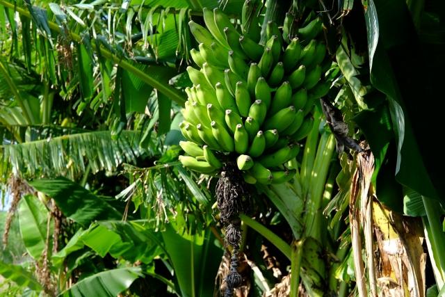 樹になっているバナナ